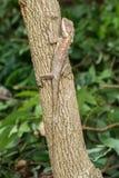 Drzewna jaszczurka Zdjęcia Royalty Free