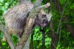 Drzewna jeżatki wspinaczka zdjęcia stock