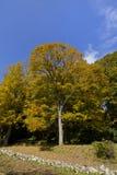 Drzewna jesień, spadek Zdjęcia Royalty Free