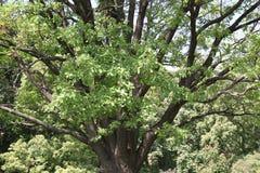 Drzewna korona Fotografia Royalty Free