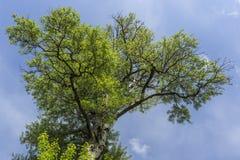 Drzewna korona na niebieskim niebie obrazy stock