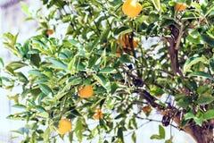 Drzewna mandarynka na ulicie Catania, Sicily, Włochy obraz stock