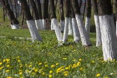 Drzewna opieka, drzewny wybielanie z zieloną trawą Zdjęcia Stock