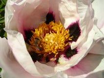 Drzewna peonia w kwiatu zakończeniu up Różowy peonia kwiatów dorośnięcie w ogródzie, kwiecisty tło Pszczoła w wiosna kwiacie Obraz Stock