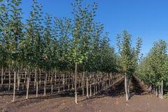 Drzewna pepiniera z młodymi jabłoniami Fotografia Royalty Free