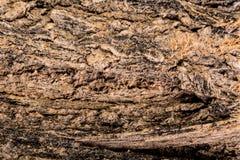 Drzewna skorupa obraz royalty free