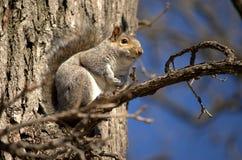 Drzewna wiewiórka Obrazy Royalty Free