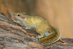 Drzewna wiewiórka Fotografia Stock