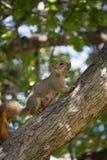 Drzewna wiewiórka Obraz Royalty Free