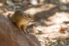 Drzewna wiewiórka na skale Zdjęcia Royalty Free