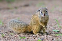 Drzewna wiewiórka na ziemi Obraz Royalty Free