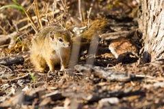 Drzewna wiewiórka na ziemi Zdjęcie Stock