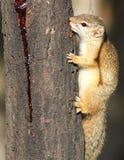 Drzewna wiewiórka, Paraxerus cepapi guma do żucia od Combretum tre Fotografia Stock