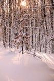 drzewne Boże Narodzenie natury Zdjęcia Stock