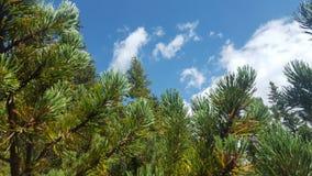 Drzewne igły z chmurami Obrazy Royalty Free