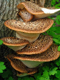 drzewne narastające pieczarki Obraz Stock