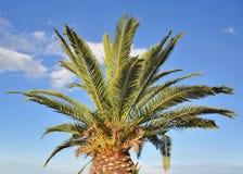 drzewne palmowe palmy Zdjęcie Royalty Free