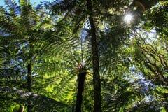 Drzewne paprocie, Amboro park narodowy, Samaipata, Boliwia zdjęcie stock