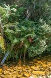 Drzewne paprocie obok strumienia Obrazy Stock