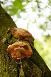 Drzewne pieczarki Zdjęcia Stock