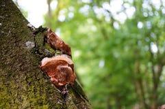 Drzewne pieczarki Zdjęcie Royalty Free