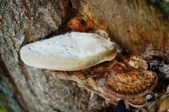 Drzewne pieczarki Zdjęcie Stock