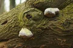 Drzewne pieczarki Fotografia Stock
