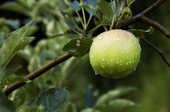 drzewne rosa jabłczane kropelki Obrazy Royalty Free