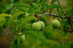 drzewne zielone śliwki Obraz Stock