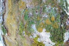 Drzewnego bagażnika szczegółu tekstura jako naturalny tło Korowatego drzewa tekstury tapeta Fotografia Royalty Free