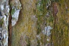 Drzewnego bagażnika szczegółu tekstura jako naturalny tło Korowatego drzewa tekstury tapeta Zdjęcia Stock