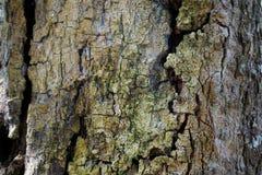 Drzewnego bagażnika szczegółu tekstura jako naturalny tło Korowatego drzewa tekstury tapeta Zdjęcie Stock