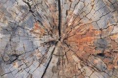 Drzewnego bagażnika przekrój poprzeczny zdjęcie royalty free