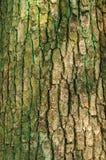 Drzewnego bagażnika tekstura Zdjęcia Royalty Free