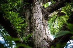 Drzewnego bagażnika tekstura od métaséquoia glyptostroboides zdjęcie stock
