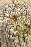 Drzewnego fiszorka gnić Zdjęcie Royalty Free