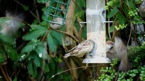 Drzewnego wróbla ptaków przechodnia montanus je niektóre ziarna zbiory wideo