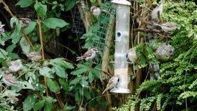 Drzewnego wróbla ptaków przechodnia montanus je niektóre ziarna zbiory