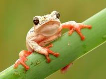 Drzewnej żaby obwieszenie na ciasnym Obrazy Stock