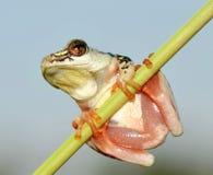 Drzewnej żaby wysoki kluczowy colour Zdjęcie Stock