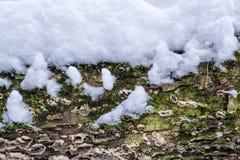 Drzewnej barkentyny pokrywa z foremką, mech i śnieg textured tło Zdjęcie Stock