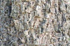 Drzewnej barkentyny tekstura Indiański korkowy drzewo zdjęcia royalty free