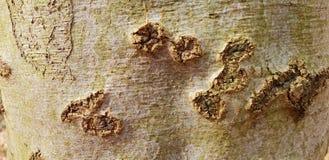 Drzewnej barkentyny tekstury tło Zdjęcia Royalty Free