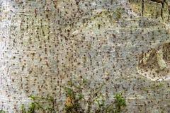 Drzewnej barkentyny texture/tło obrazy royalty free