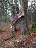 Drzewnej kończyny spada puszek Fotografia Royalty Free