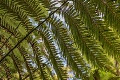 Drzewnej paproci liście widzieć spod spodu Obrazy Royalty Free
