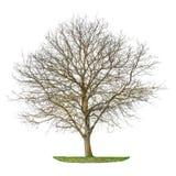 Drzewnej sylwetki odosobniony biały tło Obraz Royalty Free