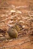 Drzewnej wiewiórki Paraxerus cepapi łasowania ziarna na ziemi, Południowa Afryka Zdjęcia Royalty Free
