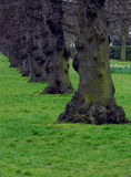 Drzewni bagażniki Obraz Stock