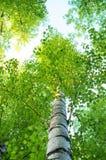 Drzewni bagażniki brzozy w lecie zdjęcia royalty free